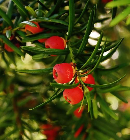 Marjad ja taimed, mis ohustavad väikelapsi