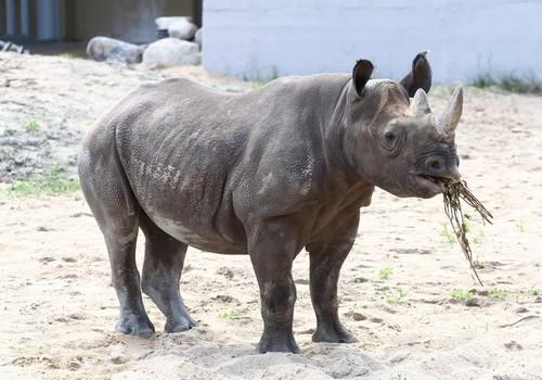 Ajalooline sündmus: loomaaias sündis esimene ninasarvik