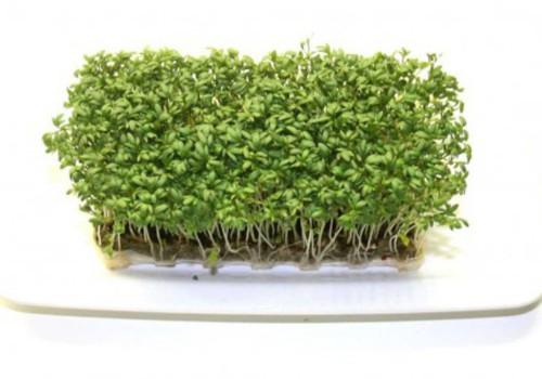 Kuidas kressi kasvatada?