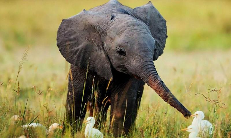 Isegi elevandipojad vajavad oma vanaema!