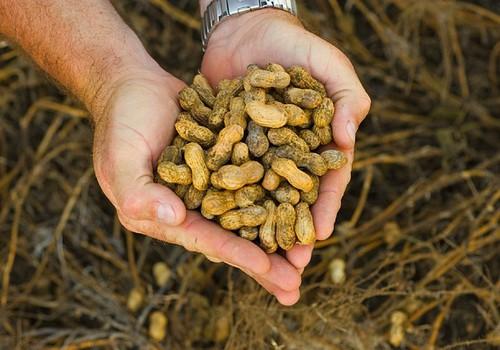 Varane kokkupuude maapähklitega vähendab allergiariski