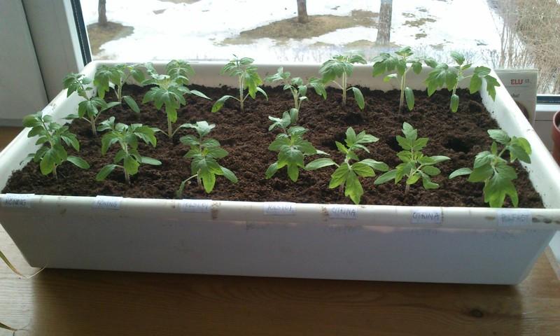 Milliseid saadusi Sina oma aknalaual kasvatad?